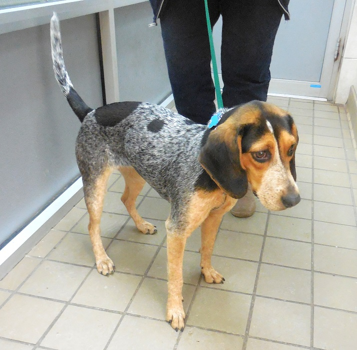 Sally Bluetick Pattern Beagle Pup Adopted 2 15 15