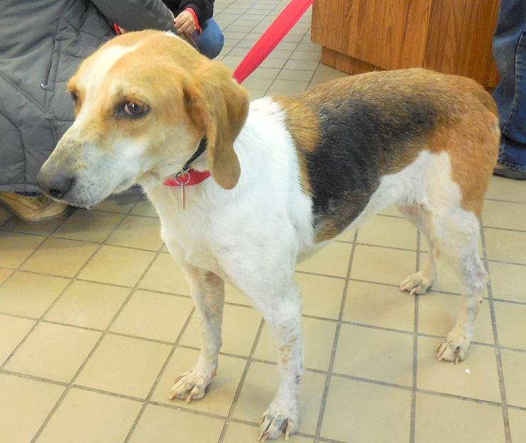 Yule Female Foxhound Adopted 2 25 15 Last Hope