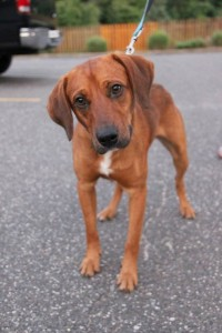 Quinn Red Hound Mix Adopted 9 10 15 Last Hope