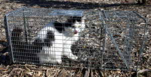 feral_cat_in_trap