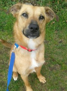 sassie feist shepherd mix adopted last hope animal rescue