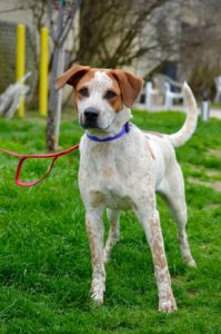Griffin Red Heeler Mix Adopted Last Hope Animal Rescue