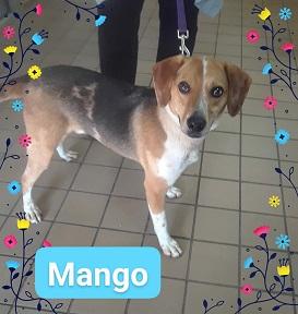 Mango Big Beagle Adopted Last Hope Animal Rescue