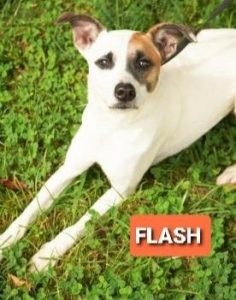 FLASH- male, Jack Russell Terrier mix