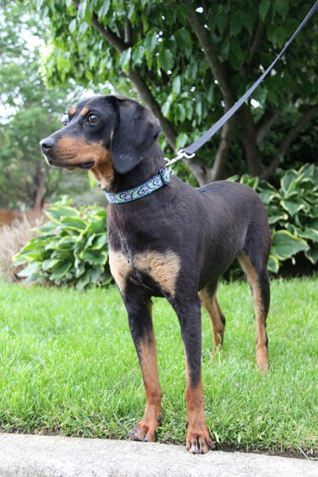 Daisy – Small Black & Tan Coonhound mix with one eye ...